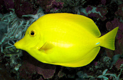Hawaii Yellow Tang Photo